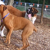 FINNIGAN (st, bernard pup), JOSEPHINE (rottweiler) HOUSEMATES
