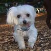 CHARLIE (13 years, Maltese)
