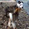CHAMP (pitbull pup), FOXI (shiba inu)