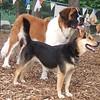 FINNIGAN (st, bernard pup), MADDIE (indiana stockdog)