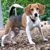 BUDDY (beagle) 2