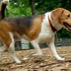 BUDDY (beagle) 3.