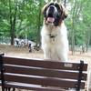 FINN (st. bernard , pup)