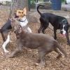 Henri (beagle), Lexxi (silver lab) , Buster (boxer)