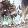 Henri (beagle), Lexxi (silver lab pup)