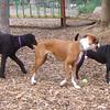 BOOTS (boxer), TUCKER, SAILOR (poodle)