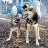FOXI (shiba inu), MADDIE (indiana stockdog)
