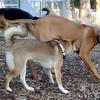 EBBERSTON (ridgeback pup), FOXI (shiba Inu)