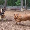 MADDIE, ROCKY (french mastiff), APOLLO (play)