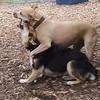 LUCY (pitbull), MADDIE (indiana stockdog) PLAYMATES FB june