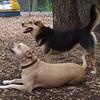 LUCY (pitbull), MADDIE (indiana stockdog) PLAYMATES, FB JUNE
