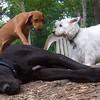 NYLAH (ridgeback pup), HARLEY (great dane), SAMBUCCA (westie)