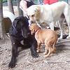 NYLAH (ridgeback pup), HARLEY (great dane), BARNI (yellow lab)