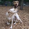 BARNI (yellow lab), MADDIE  (indiana stockdog) (surprise) PLAYMATES