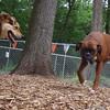 REX (boxer), MADDIE (indiana stockdog) FB JUNE