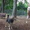 LUCY (pitbull), MADDIE (indiana stockdog)  JUMP (playmates) FB JUNE