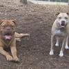 ROCKY (french mastiff), LUCY (pitbull)  june 11 358