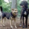 MADDIE (indiana stockdog), MOJO (hound pointer female) PLAYMATES FB JUNE