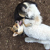 DEEGAN (labradoodle),  MADDIE (indiana stockdog) fangs/playmates FB JUNE