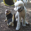 DEEGAN (labradoodle), MADDIE (stockdog) smile / playmates FB JUNE