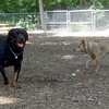 MAX ( rottweiler) & Buffy (new )
