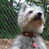 ISABELLA ( west highland terrier, westie) (05/17/07)