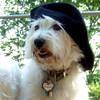 SAMBUCCA (west highland terrier, westie) HAT