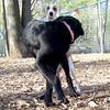 AJAX (italian greyhound pup), BARBIE (black lab guide pup)