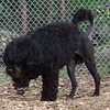 MOBY  (portuguese water dog)