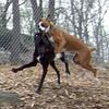 BOOTS (boxer pup), MOJO (hound mix)