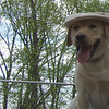 ICARUS (yellow lab guide pup) (marty hat)