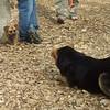 ROCKY (puggle), MADDIE (indiana stockdog)