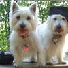 ISABELLA & SAMBUCCA ( west highland terriers, westies) (HAT) HOUSEMATES