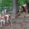 beagle, maddie (05/20/07)