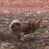 FOXI (shiba inu) ON THE MOVE