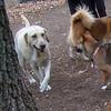 BARNI (yellow lab girl), FOXI (shiba inu)