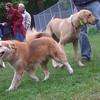 IZZY (wonder breed), COOPER (ridgeback) HOUSEMATES