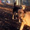 BUFFY (ridgeback mix), MADDIE (indiana stockdog) PLAYMATES 2