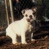 BULLDOG PUPPY (what name) 2