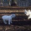 BERNIE & buldog pup
