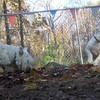 BERNIE (westhighland terrier),  buldog pup 2