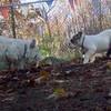 BERNIE & bulldog pup 3