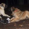 Rocky (eng  mastiff pup), Aries (leonberger pup), simon