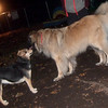 MADDIE (indiana stockdog), ARIES leonberger pup)