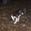 SIMON (boston terrier)