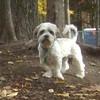 CHARLIE (Lhasa apso, tebetan terrier)