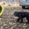FLINT (portuguese water dog) 3