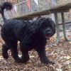 FLINT (portuguese water dog) 4