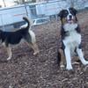 OLIVER (aussie pup) & MADDIE (PLASANTVILLE) 2