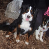LOLA (or lulu, bernese) & OLIVER (aussie pup)3